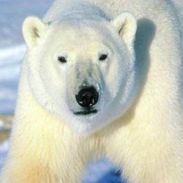 beruang-kutub-itu-kidal-menggunakan-tangan-kiri