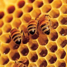 madu-mudah-dicerna-oleh-tubuh-karena-sebelumnya-sudah-dicerna-oleh-lebah