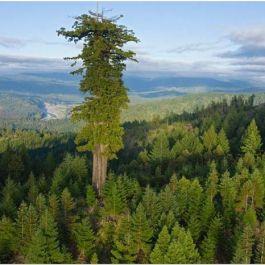pohon-hyperion-merupakan-pohon-tertinggi-di-dunia-115-2-meter