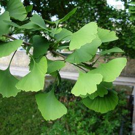 tanaman-yang-ada-sejak-zaman-dinosaurus-adalah-pohon-maidenhair