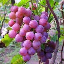 dibutuhkan-rata-rata-600-buah-anggur-untuk-menghasilkan-satu-botol-anggur