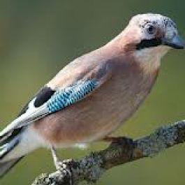 burung-pejantan-eurasian-jaysgarrulus-glandarius-mampu-memahami-isi-hati-pasangannya