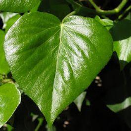 bentuk-hati-dipercaya-ada-pada-3000-tahun-sm-berasal-dari-bentuk-daun-ivy-yang-sering-digunakan-masyarakat-yunani-dan-roma-sebaai-ornamen-dalam-keramik-dan-bejana