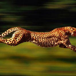 karena-persaingan-cheetah-berburu-di-siang-hari-bukan-malam-dan-makan-dengan-cepat