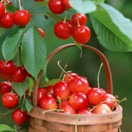 kandungan-antioksidan-buah-ceri-disebut-anthocyanin-yang-baik-sebagai-makanan-peningkat-kekuatan-otak