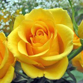 di-belgia-bunga-warna-kuning-diartikan-sebagai-kebencian