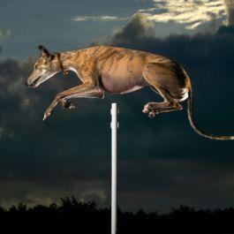 rekor-dunia-untuk-lompatan-anjing-tertinggi-adalah-172-7-cm-68-in-yang-dicapai-oleh-seekor-anjing-bernama-cinderella-may-a-holly-grey-dari-usa