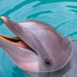 pada-tahun-60-an-ilmuwan-memberikan-lsd-pada-lumba-lumba-dalam-upaya-untuk-mengajarkan-mereka-bahasa-inggris