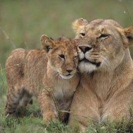 singa-pura-pura-kesakitan-saat-digigit-oleh-anak-singa-untuk-menyemangati-mereka