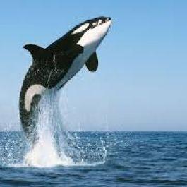 ketika-kita-menemukan-paus-terdampar-ada-kemungkinan-itu-memang-keinginan-dari-paus-itu-sendiri-untuk-melakukan-bunuh-diri