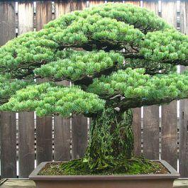 sebuah-pohon-bonsai-selamat-dari-bom-hiroshima-lalu-di-berikan-kepada-amerika-sebagai-hadiah-dan-masih-hidup-hingga-sekarang