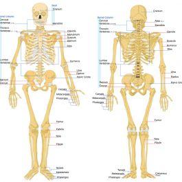 tulang-manusia-terdiri-dari-31-persen-air