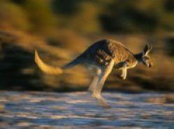 Kanguru Mungkin Solusi Obat Kanker Kulit