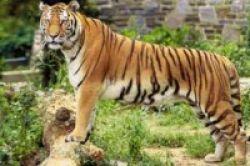 Harimau Diduga Pembawa Virus HIV