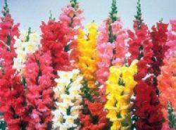 Bunga Snapdragon, Hambat Pertumbuhan Sel Kanker