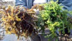 Ekstrak Rumput Laut untuk Pengobatan Kanker