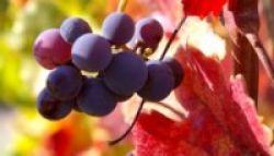 Manfaat Anggur untuk Mengurangi Risiko Penyakit Jantung dan Diabetes