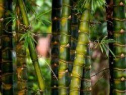 Ekstrak Daun Bambu Sehatkan Jantung