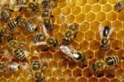 Propolis, Lem Lebah dengan Banyak Khasiat