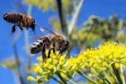 Lebah, Kunci Pencegahan Demensia