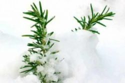 Rosemary, Tanaman Herbal Kaya Gizi