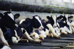 Strain Baru Bakteri Super Ditemukan pada Susu