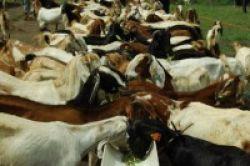 Bahaya Mengonsumsi Daging Berlebihan