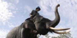 Gajah Sumatera Akan Punah dalam 30 Tahun