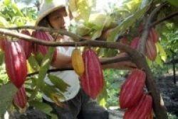 Sulbar Susun Kurikulum Pendidikan Kakao