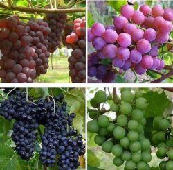 Kandungan dan Manfaat Buah Anggur untuk Tubuh