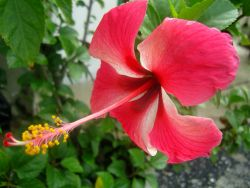 Manfaat Bunga Kembang Sepatu bagi Tubuh dan Kesehatan
