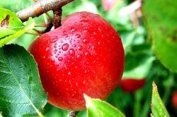 Dengan Rutin Mengkonsumsi Apel, Penyakit Kronis Ini Dapat Dicegah!