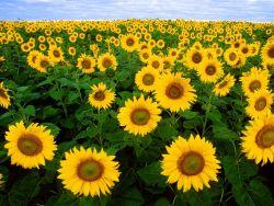 Khasiat dan Manfaat Bunga Matahari