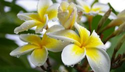 Manfaat Bunga Kamboja