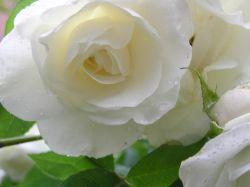 Bunga Mawar, Solusi Penawar Batuk Darah dan Campak