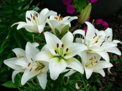 Khasiat Ajaib dari Bunga Lily
