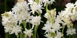 Khasiat Bunga Sedap Malam yang Perlu Diketahui