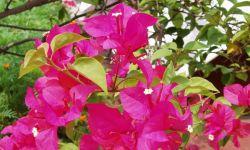 Manfaat dan Khasiat Bunga Kertas untuk Kesehatan