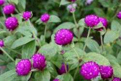 Khasiat Dibalik Bunga Kenop