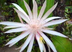 Khasiat Bunga Wijayakusuma bagi Kesehatan