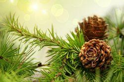 Selain Jadi Pajangan Natal, Pohon Pinus Punya Manfaat Kesehatan!