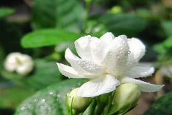 Ternyata Bunga Melati Punya Segudang Manfaat!