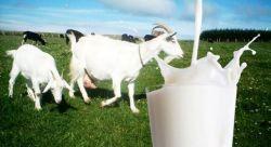 Nikmati Sederet Manfaat Susu Kambing bagi Kesehatan