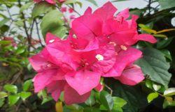 Manfaat Luar Biasa dari Bougenville, Bunga Indah dari Meksiko