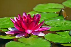 Mengenal Khasiat dari Bunga Teratai