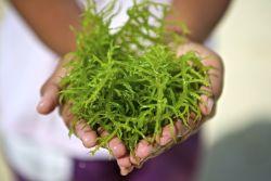 Sederet Manfaat Kesehatan dari Konsumsi Rumput Laut