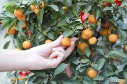 Cari Tahu Manfaat Kesehatan Dibalik Buah Kumquat